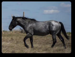 Blue Roan quarter horse stallion.  © Photo by Andrea Webb