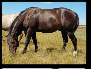 Brown Silver (EeAtaZz) quarter horse stallion at 4 yrs old (2017)