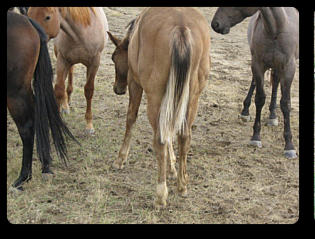 Look at that silver tail!( yearling, 2013). Photo courtesy of Powder River Horses, WY